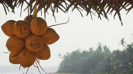 suspensão : Cluster of mature. yellowing coconuts. hanging over an exotic tropical beach in Hikkaduwa. Sri Lanka. FullHD 1080p video Stock Footage