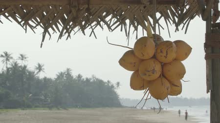 hikkaduwa : Cluster of mature. yellowing coconuts at exotic tropical beach in Hikkaduwa. Sri Lanka. on a cloudy day Stock Footage