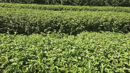 aisles : Orderly and neat rows of mature tea bushes. growing on this rural plantation in Chiang Mai. Thailand. Ultra HD stock footage Stock Footage