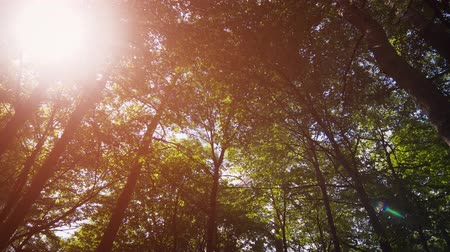 temperada : Sunshine filters through the leaves and branches of tall trees in this forest wilderness in Eastern Europe. from a low angle perspective. Ultra HD stock footage