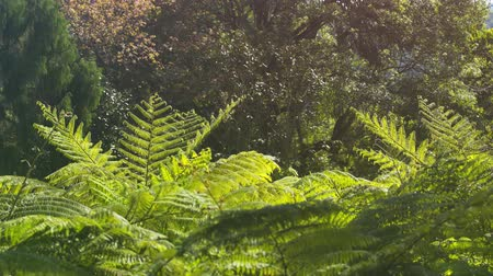 tropikal iklim : Tops of tree ferns. with their delicate fronds and leaves. swaying in a breeze in a Thai jungle wilderness. with sound. Stok Video