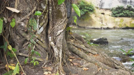 ficus : Trunk and roots of a tropical ficus tree. growing on the bank of a mountain stream at this nature park in Thailand. Stock Footage