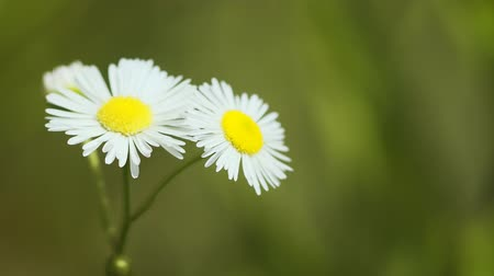общий : Closeup of the white petals and yellow centers of clustered Erigeron wildflowers in their natural environment. swaying in a gentle breeze. FullHD footage