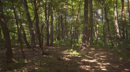 temperada : Sunshine filters through the trees in this forest in Eastern Europe. dappling the ground in patterns of light and shadow. UltraHD 4k video