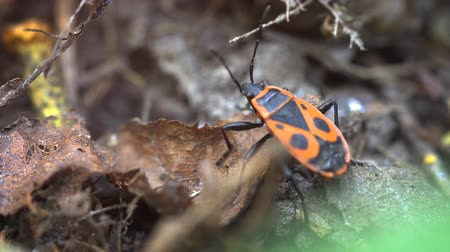 entomoloji : Solitary. wild specimen of Pyrrhocoris apterus. known as a firebug. with its bright red patterned back. on the forest floor. 4k footage