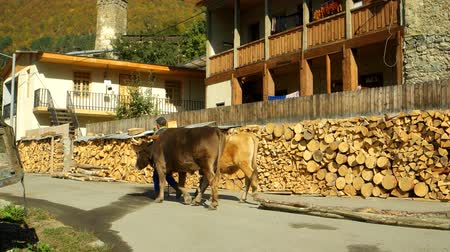 fardo : MESTIA. GEORGIA - OCT 2018: Local Man Leads a Pair of Oxen. Hauling Wood in Mestia. Georgia. Ultra HD 4k stock footage with Sound Vídeos
