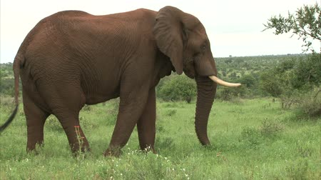 fil : Grazing elephant in the bush. South Africa, Kruger National Park. Stok Video