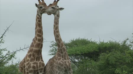 afrika : Giraffe couple. South Africa, Kruger National Park.