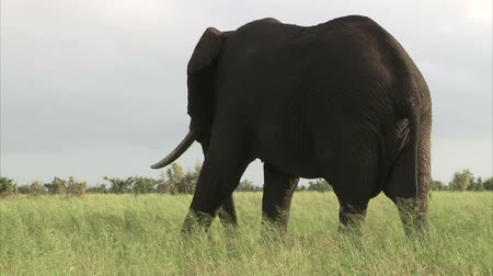 afrikaanse dieren : Wandelen olifant in de bush. Zuid-Afrika, Kruger National Park. Stockvideo