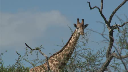 afrika : Watching Giraffe. South Africa, Kruger National Park. Dostupné videozáznamy