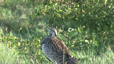 bustard : Black-bellied Bustard in the bush. South Africa, Kruger National Park. Stock Footage