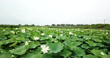 sáně : Stunning aerial drone stock footage of flowering lotuses on the lake near the road in Krasnodar Krai of Russia.