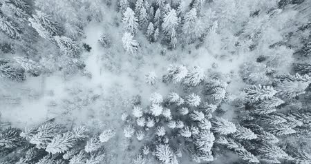 Aerial top down flyover shot of winter spruce and pine forest.