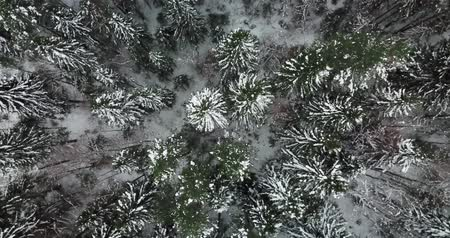 Aerial fly over the winter fir forest on the north of Russia