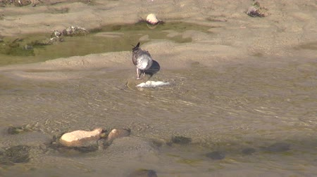 prowl : seagull eating a fish on water at river shore