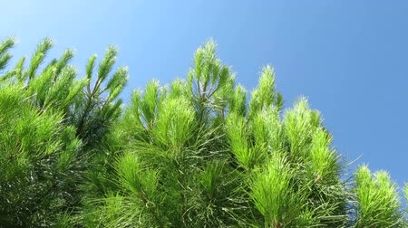 pinho : still frame shot down of tall green pine tree in green forest and blue sky with sun light through branches treetop Vídeos