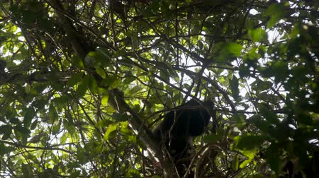 howler monkey : Howler monkey relax in tree top.manuel antonio national park costa rica