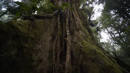 van : angle from root to top of big tree in rain forest, national park  Costa Rica