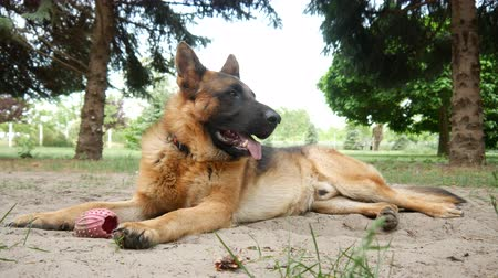 fiel : Close-up of a beautiful german shepherd dog while looking in the garden on the background on a sunny day.