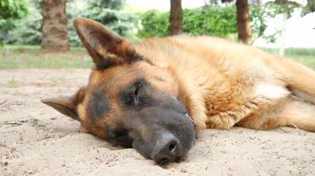 canino : Close-up of a beautiful german shepherd dog while looking in the garden on the background on a sunny day.