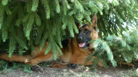 A beautiful german shepherd dog resting under the pine tree.