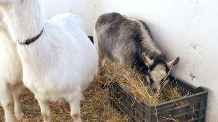 рог : Goats are eating hay in the barn. Стоковые видеозаписи