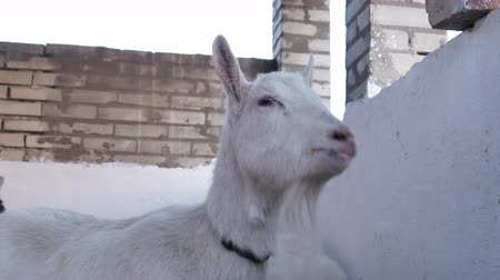 boynuzları : Goats are eating hay in the barn. Stok Video