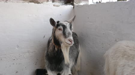 kecske : Close-up of a goat standing and looking around in the barn.