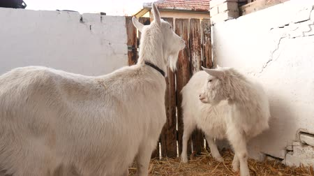 рог : Goats are standing and looking around in the barn.