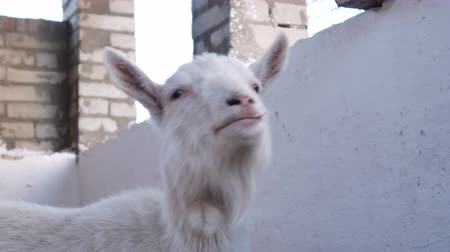 koza : Close-up of a goat standing and looking around in the barn.