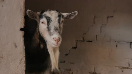 Close-up of a goat standing and looking around in the barn.