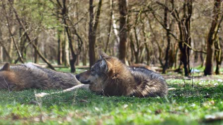 vadon élő állatok : A beautiful european gray wolf resting and sleeping on the grass on a sunny day