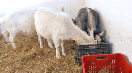 breeding season : Goats are eating hay in the barn. Stock Footage