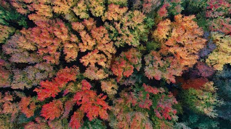 Aerial view of colorful trees in forest from above in Autumn Stockvideo