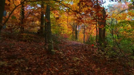 Beautiful woods with Autumn foliage in park. Stockvideo