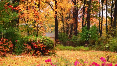 autumn : Beautiful woods with Autumn foliage in park. Stock Footage