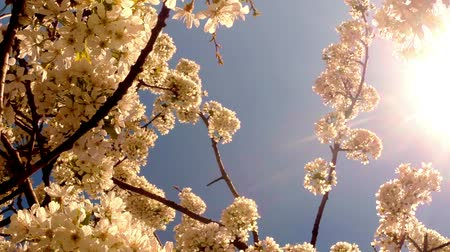 śliwka : the sun through the cherry flowers