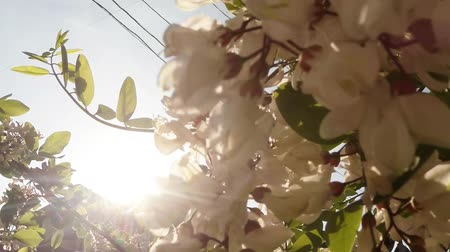 flying ants : chafer beetle in blooming acacia, wind and the sun Stock Footage