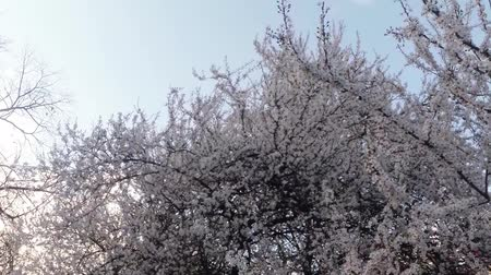 śliwka : blossoming fruit trees, cherry trees and flying bees around the flowers Wideo