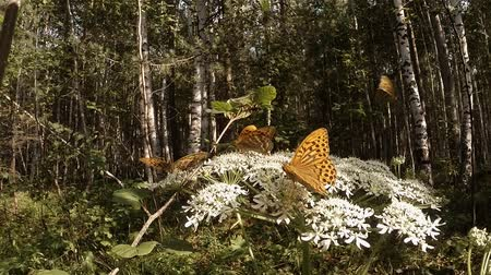 sivilceli : few spotty brown butterfly on a huge white flower in the forest
