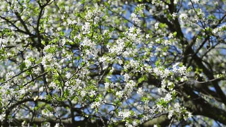 pomar : Spring Blossom Tree Branches With White Flowers Vídeos