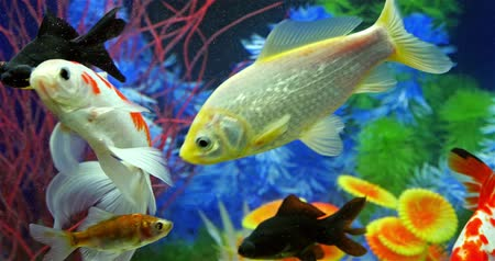 vida selvagem : Fish Swimming In Tropical Freshwater Aquarium