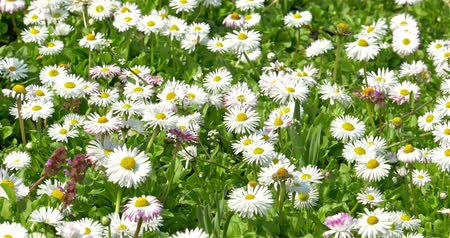 papatyalar : White Daisy Field Blossom In Spring Stok Video