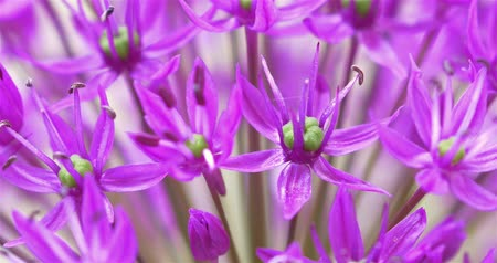 perennials : Purple Allium Flowers Close Up Stock Footage