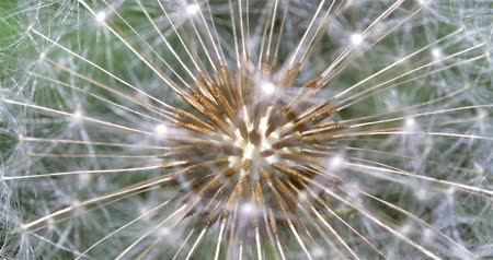 pissenlits : Dandelion Intérieur Close Up Of Seeds