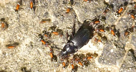 муравей : Colony Of Ants Atacking And Eating Beetle
