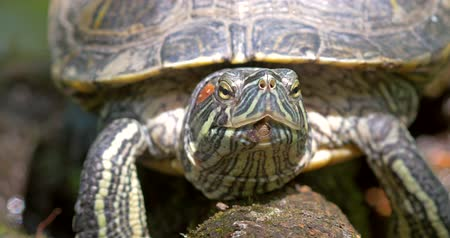 пруд : Pond Green Turtle Close Up