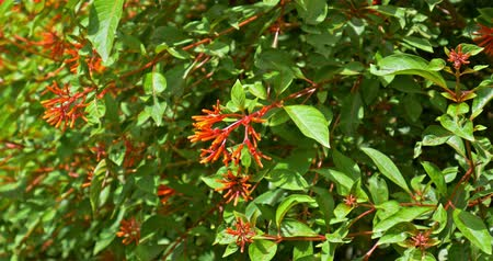 tubular : Firebush Or Hummingbird Bush (Hamelia Patens) Flower Stock Footage