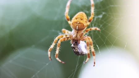 cross spider : European Cross Spider (Araneus Diadematus) On Web Eating Prey