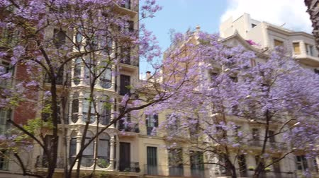 Blue Jacaranda Tree Flowers Downtown Barcelona City In Spain Dostupné videozáznamy